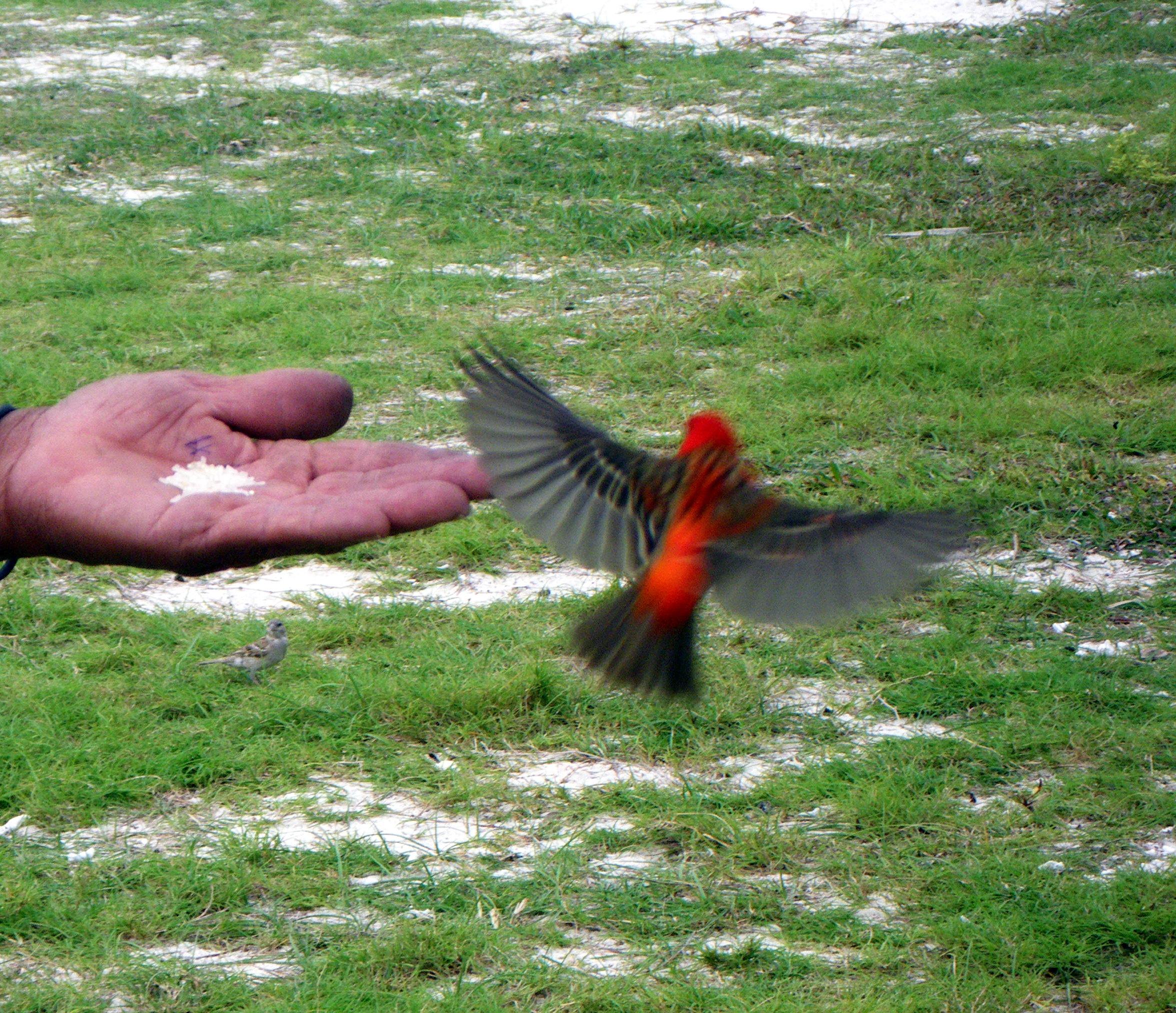 Cardinal dans le for Dans le jardin